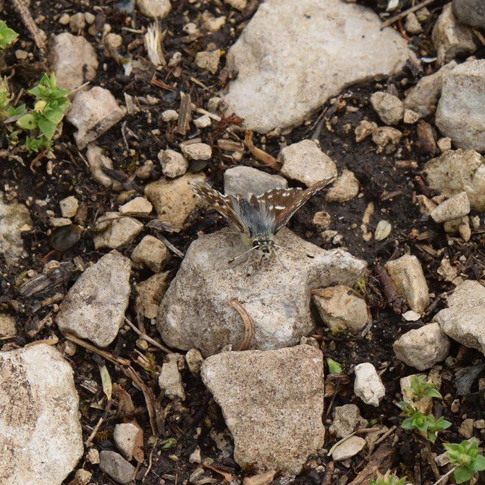 Roter Würfel-Dickkopffalter (Spialia sertorius) auf Stein