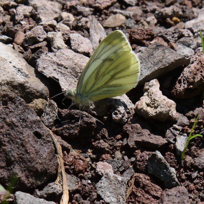Grünader-Weißling (Pieris napi) auf Boden