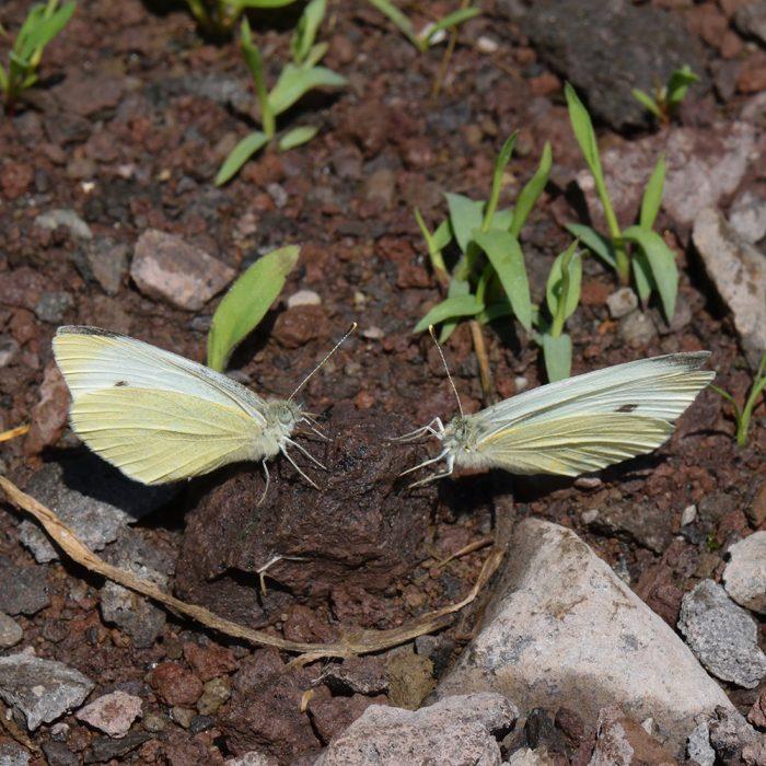 Kleiner Kohlweißling (Pieris rapae) auf Boden