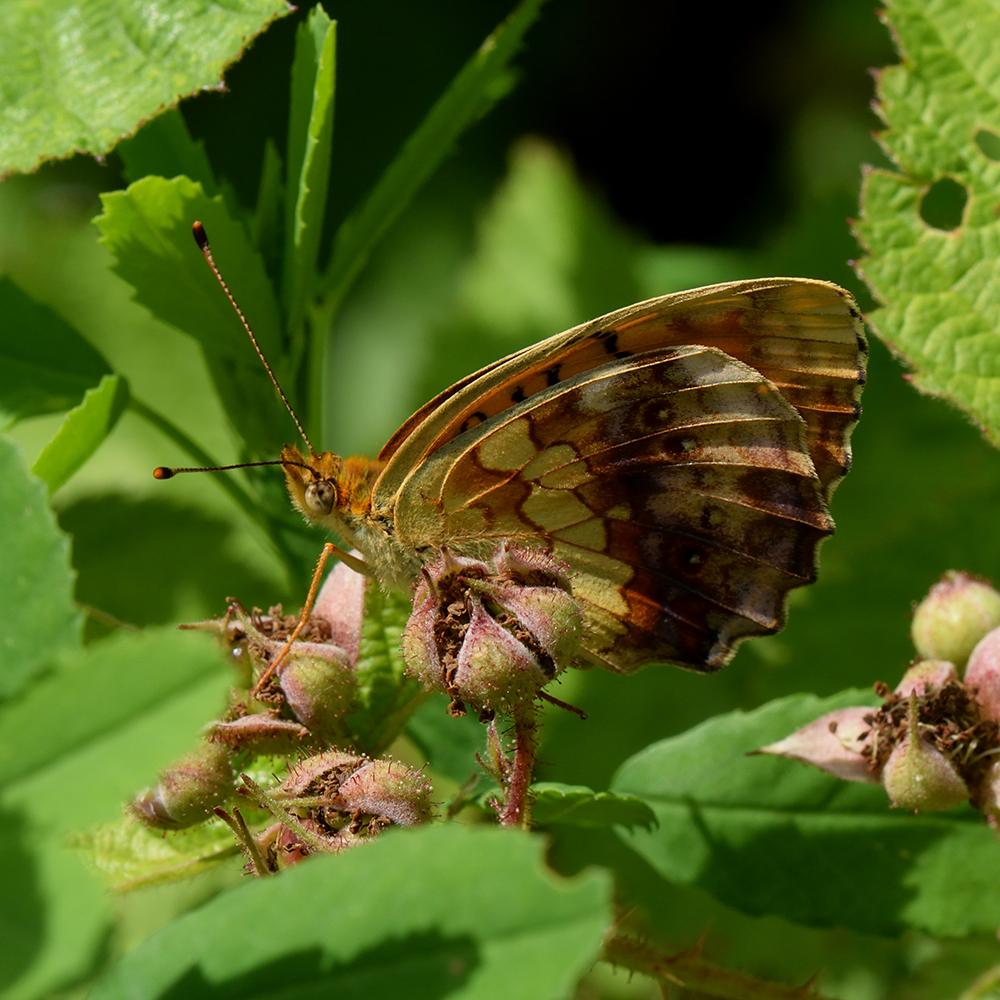 Brombeer-Perlmutterfalter (Brenthis daphne) auf Brombeere