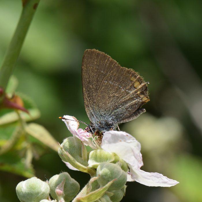 Kleiner Schlehen-Zipfelfalter (Satyrium acaciae) auf Strauch