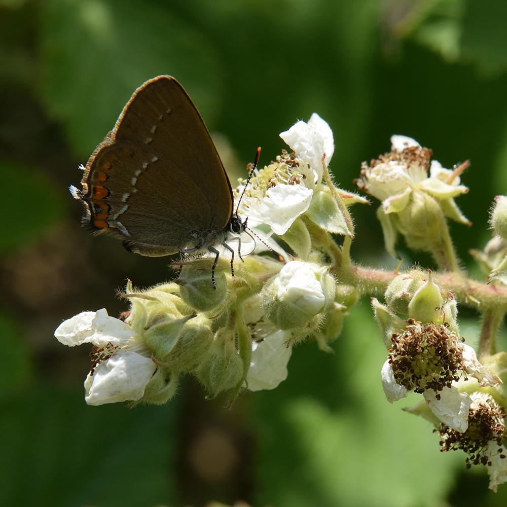 Kleiner Schlehen-Zipfelfalter (Satyrium acaciae) auf Brombeere
