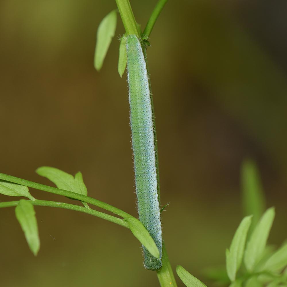 Aurorafalter (Anthocharis cardamines) Raupe auf Wildblume