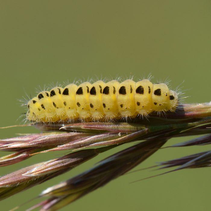 Sechsfleck-Widderchen (Zygaena filipendulae) Raupe auf Gras