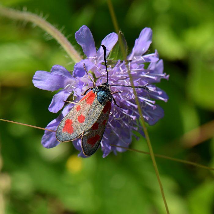 Beilfleck-Widderchen (Zygaena loti) auf Skabiose