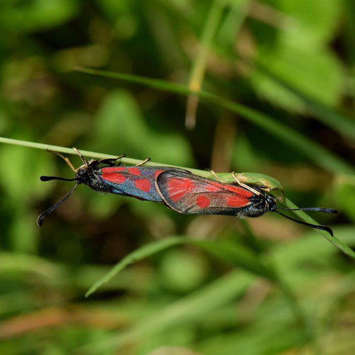 Beilfleck-Widderchen (Zygaena loti) auf Gras