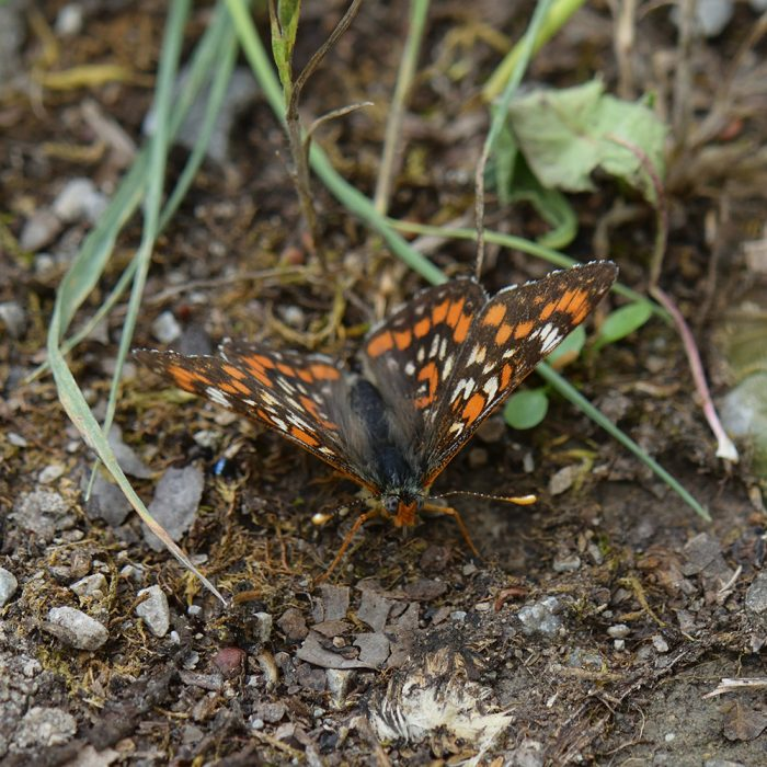 Eschen-Scheckenfalter (Euphydryas maturna) auf Waldboden
