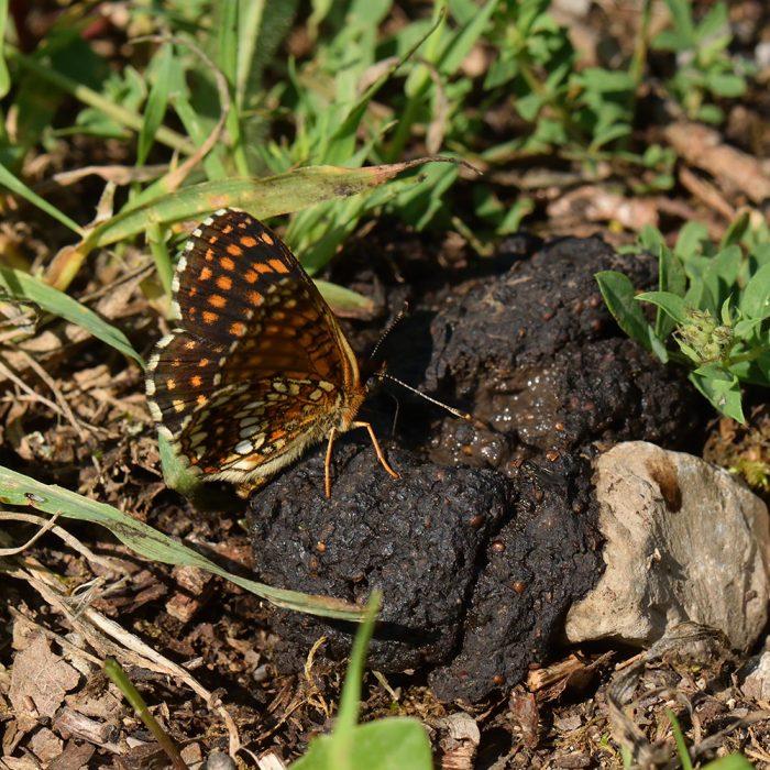 Baldrian-Scheckenfalter (Melitaea diamina) auf Waldboden