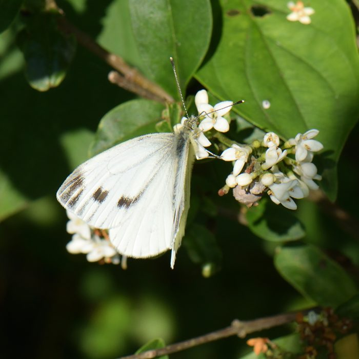 Grünader-Weißling (Pieris napi) auf Liguster