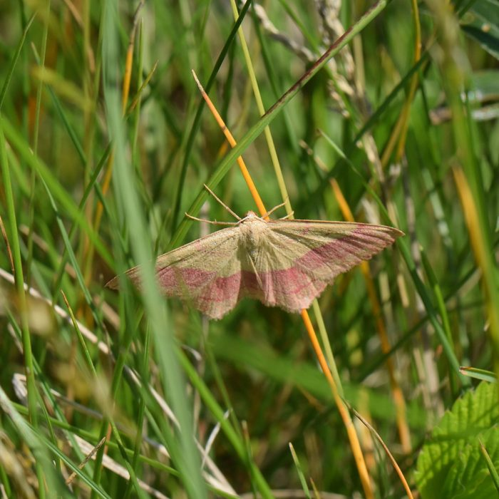 Rotbandspanner (Rhodostrophia vibicaria) auf Gras