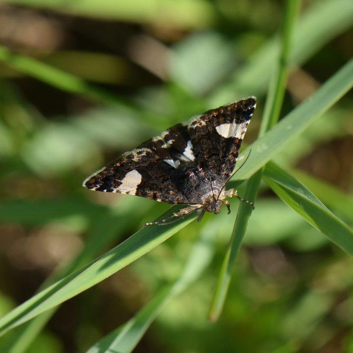 Ackerwinden-Trauereule (Tyta luctuosa) auf Gras