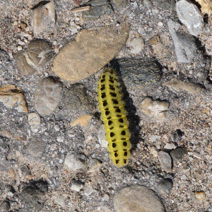 Sechsfleck-Widderchen (Zygaena filipendulae) Raupe auf Boden