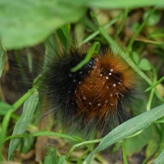 Brombeerspinner (Macrothylacia rubi) Raupe auf Wiese