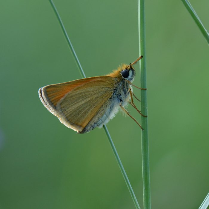 Schwarzkolbiger Braundickkopffalter (Thymelicus lineola) auf Gras