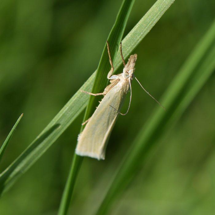 Weißer Graszünsler (Crambus perlella) auf Gras