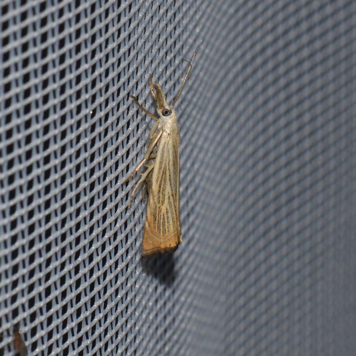 Rispengraszünsler (Chrysoteuchia culmella) beim abendlichen Leuchten