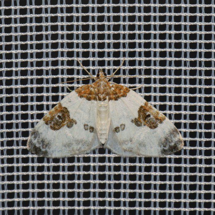Milchweißer Bindenspanner (Plemyria rubiginata) beim abendlichen Leuchten