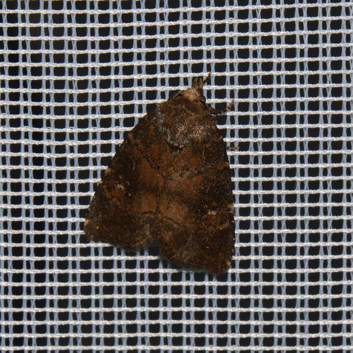 Dunkle Waldschatteneule (Rusina ferruginea) beim abendlichen Leuchten