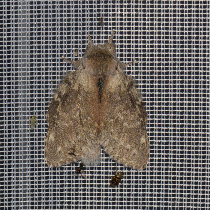 Buchen-Zahnspinner (Stauropus fagi) beim abendlichen Leuchten