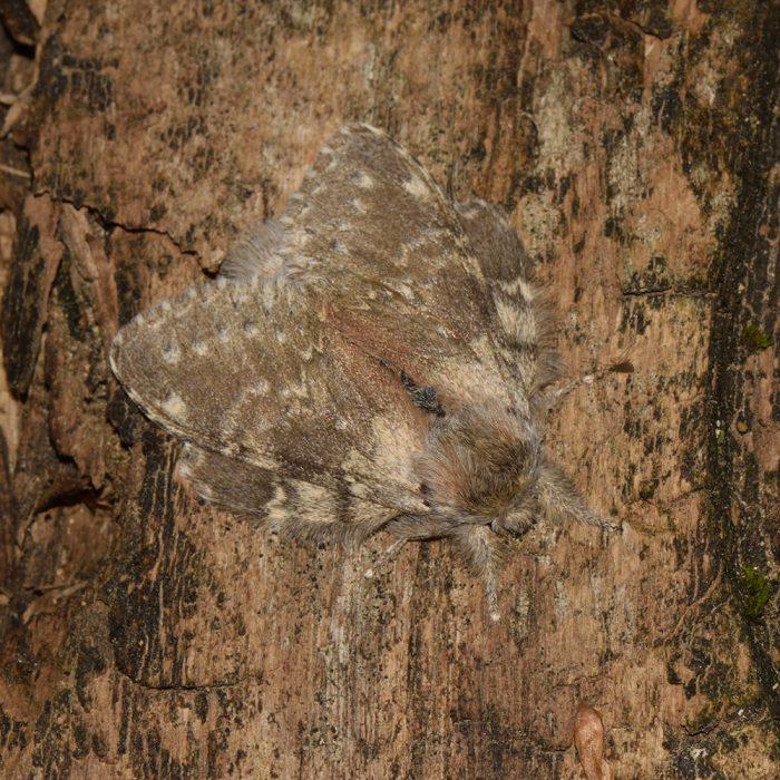 Buchen-Zahnspinner (Stauropus fagi) auf Holz