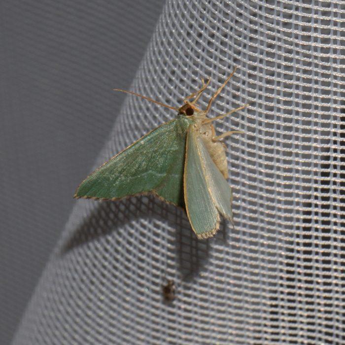 Gebüsch-Grünspanner (Hemithea aestivaria) beim abendlichen Leuchten