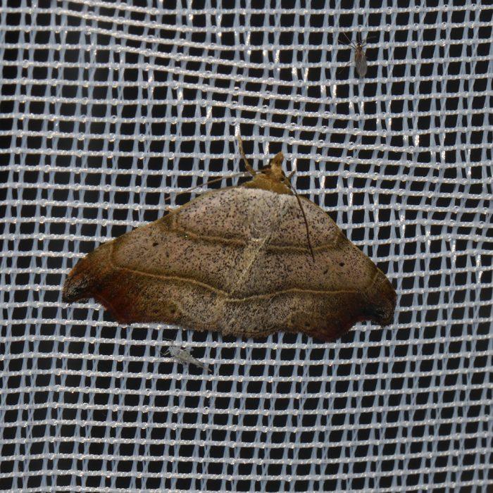 Sicheleule (Laspeyria flexula) beim abendlichen Leuchten