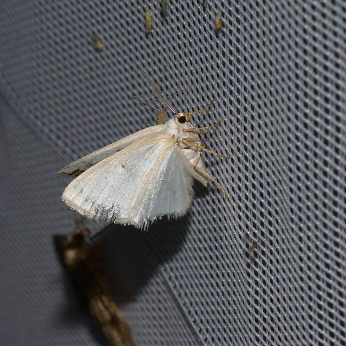 Schattenbinden-Weißspanner (Lomographa temerata) beim abendlichen Leuchten