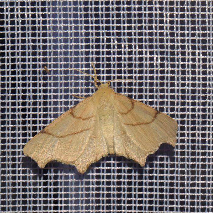 Birken-Zackenrandspanner (Ennomos erosaria) beim abendlichen Leuchten