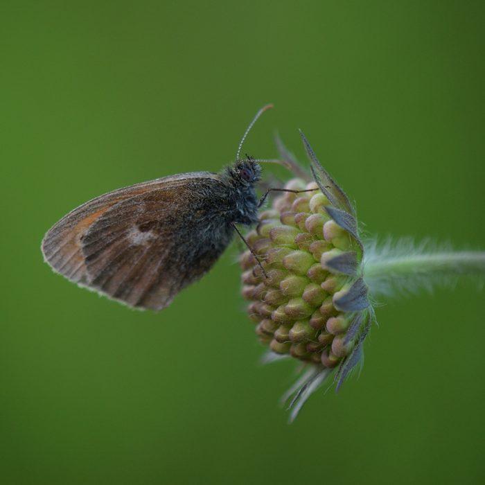 Kleines Wiesenvögelchen (Coenonympha pamphilus) auf Skabiose