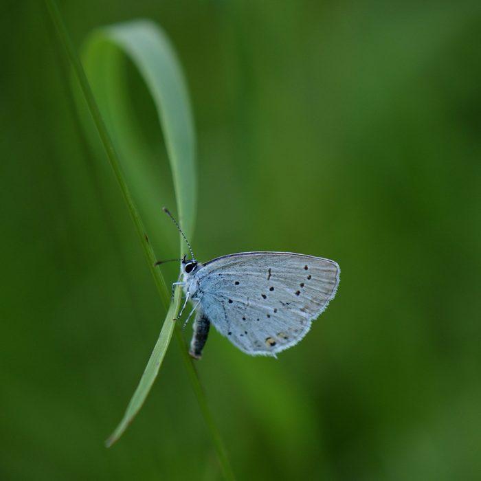 Kurzschwänziger Bläuling (Cupido argiades) auf Gras