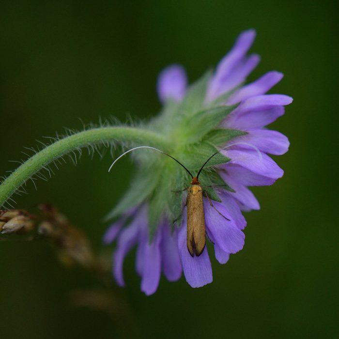 Skabiosen-Langhornmotte (Nemophora metallica) auf Skabiose
