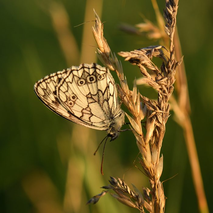 Schachbrett (Melanargia galathea) auf Gras