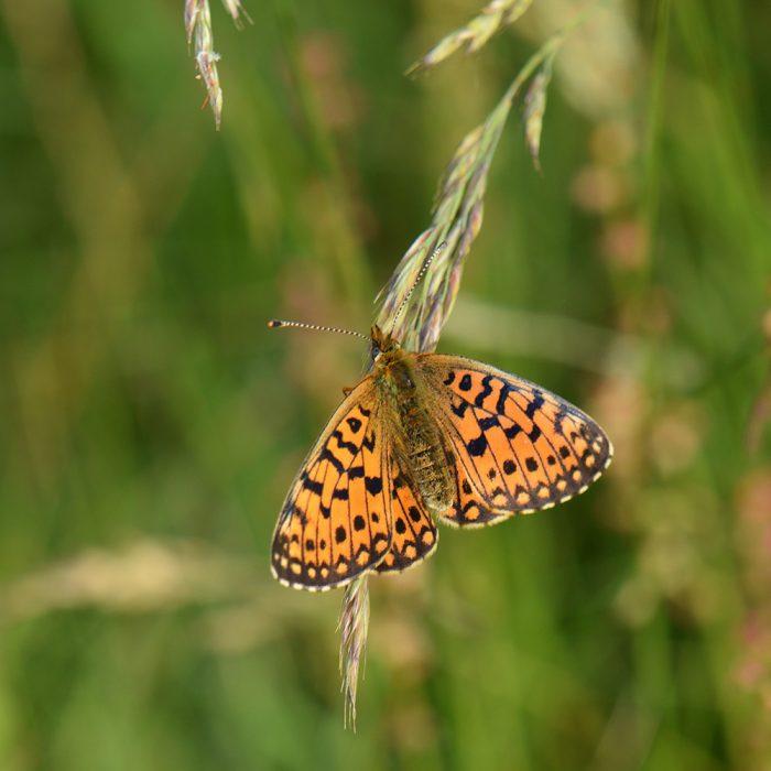 Braunfleckiger Perlmutterfalter (Boloria selene) auf Gras