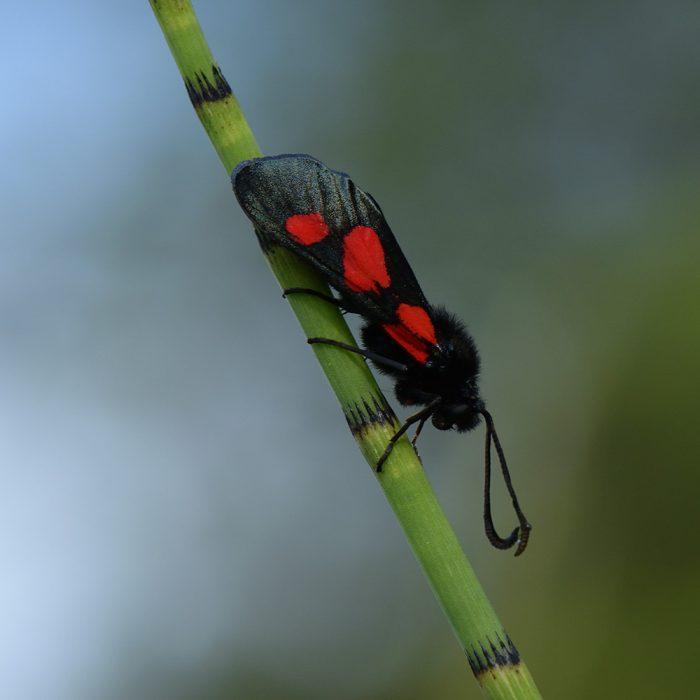 Sumpfhornklee-Widderchen (Zygaena trifolii) auf Zinkkraut