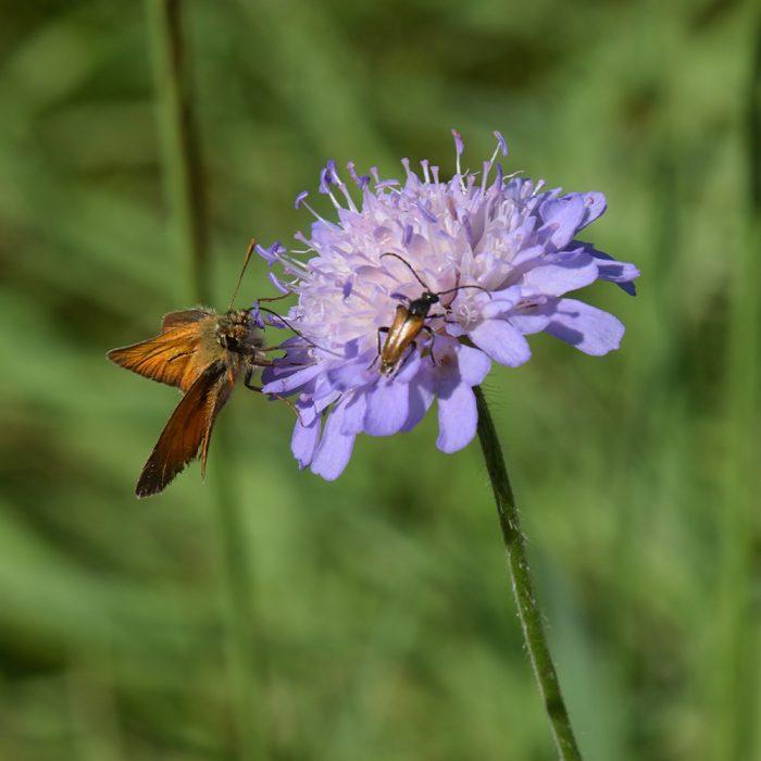 Braunkolbiger Braundickkopffalter (Thymelicus sylvestris) auf Skabiose