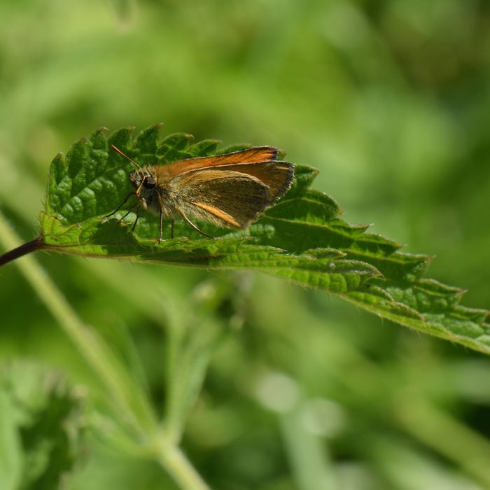 Braunkolbiger Braundickkopffalter (Thymelicus sylvestris) auf Brennnessel