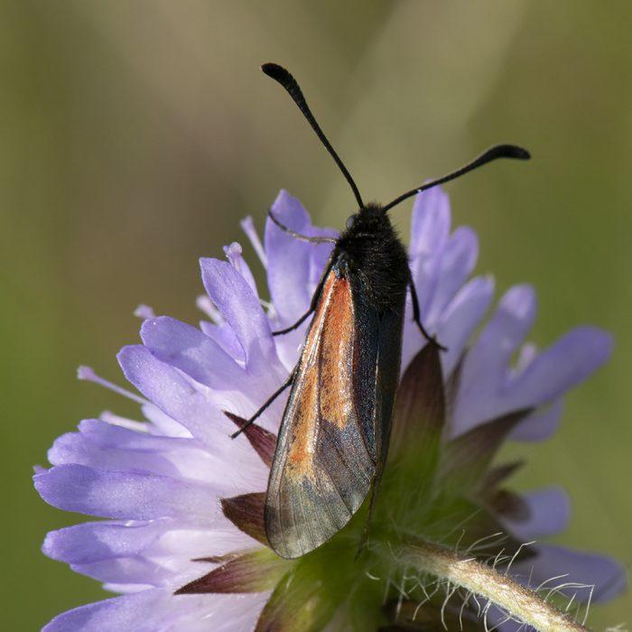 Bibernell-Widderchen (Zygaena minos/purpuralis) auf Skabiose