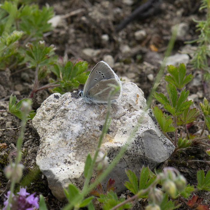 Streifen-Bläuling (Polyommatus damon) auf Stein