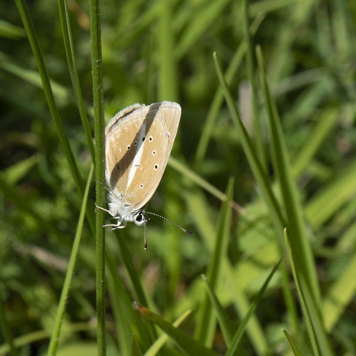 Streifen-Bläuling (Polyommatus damon) auf Gras