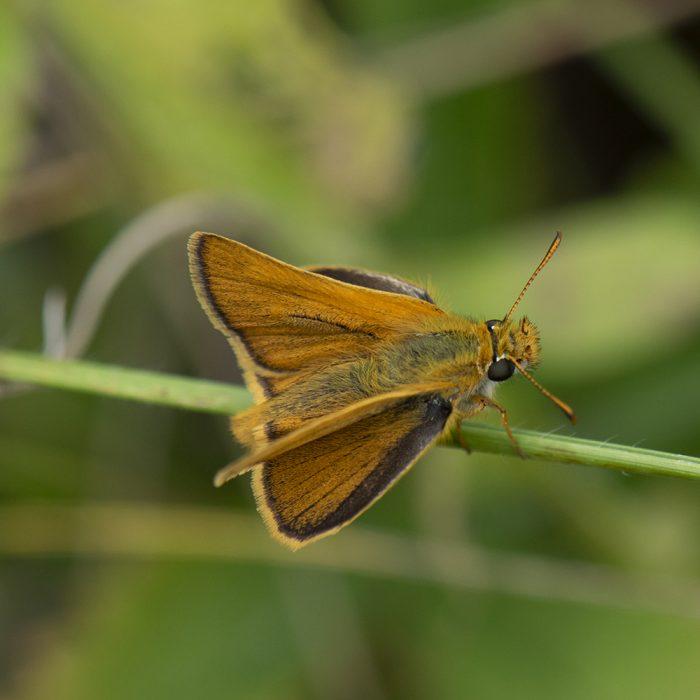 Braunkolbiger Braundickkopffalter (Thymelicus sylvestris) auf Gras