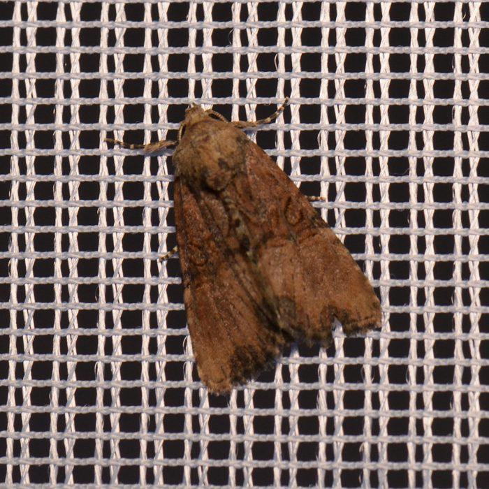 Trockenrasen-Halmeulchen (Mesoligia furuncula) beim abendlichen Leuchten