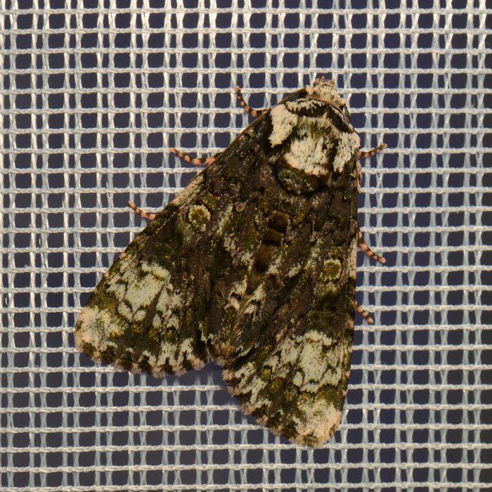 Liguster-Rindeneule (Craniophora ligustri) beim abendlichen Leuchten