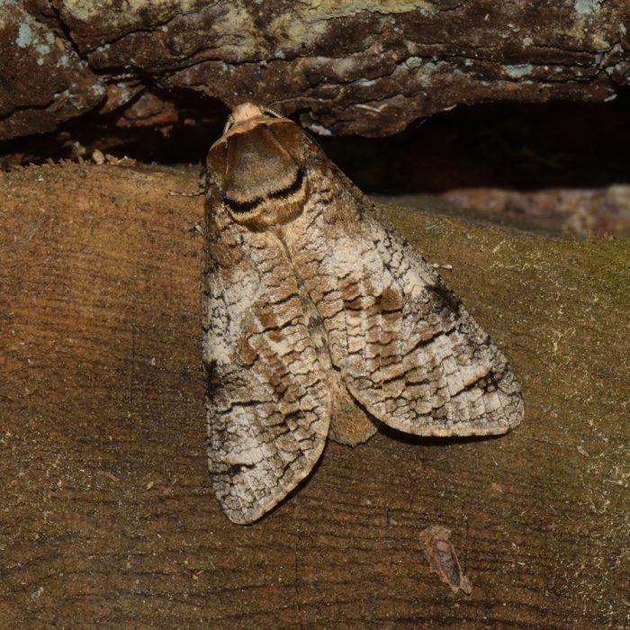 Weidenbohrer (Cossus cossus) auf Holz