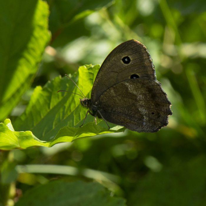 Blaukernauge (Minois dryas) auf Strauch