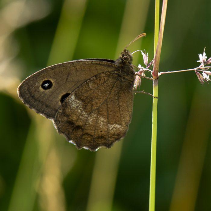 Blaukernauge (Minois dryas) auf Gras