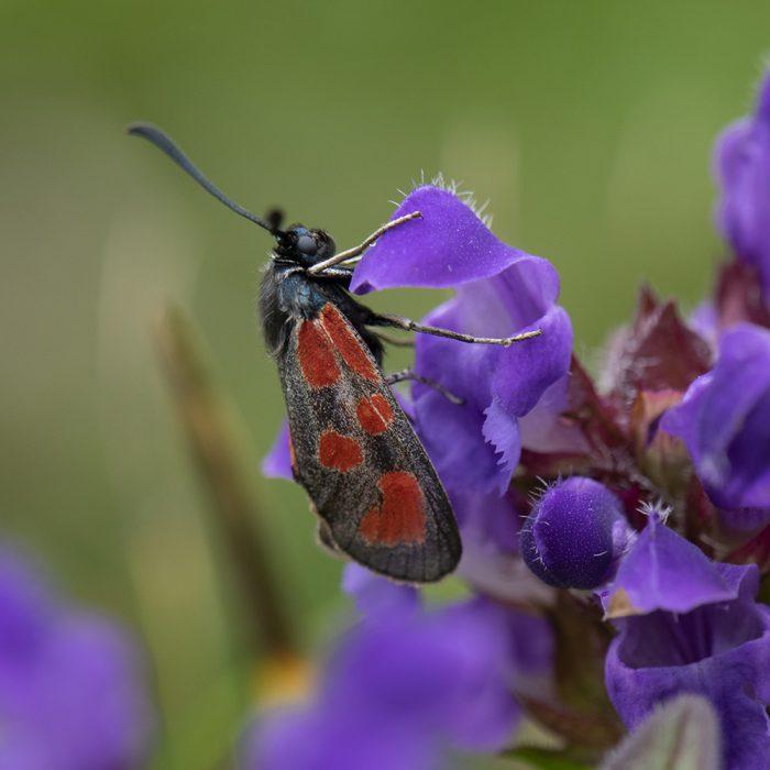 Beilfleck-Widderchen (Zygaena loti) auf Wildblume