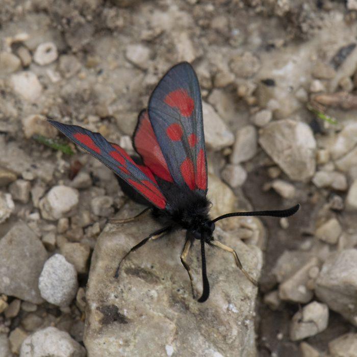 Beilfleck-Widderchen (Zygaena loti) auf Stein
