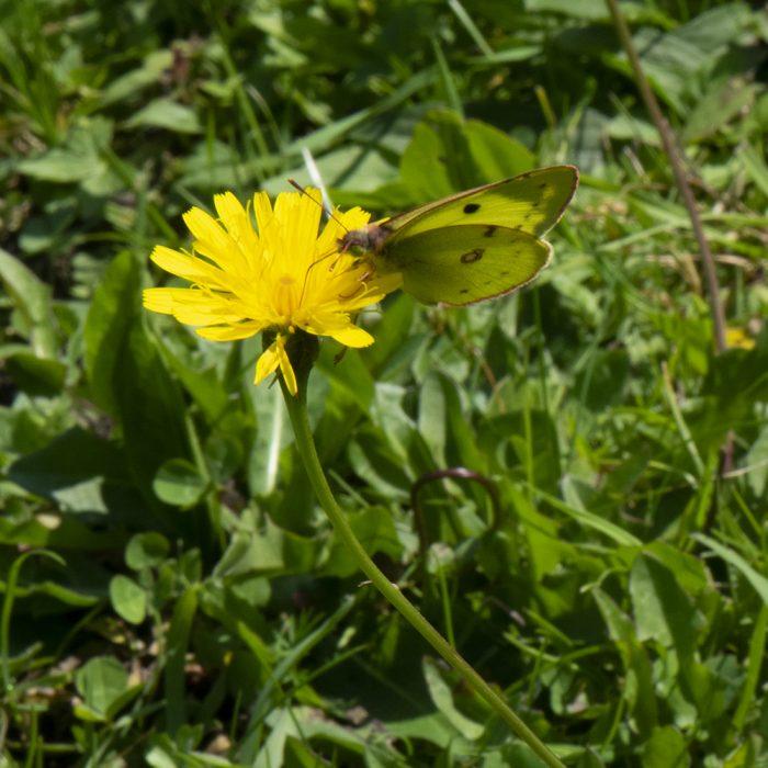 Gelbling (Colias alfacariensis/hyale) auf Wildblume