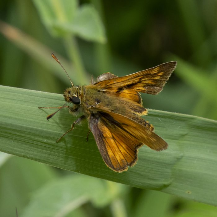 Rostfarbiger Dickkopffalter (Ochlodes sylvanus) auf Gras