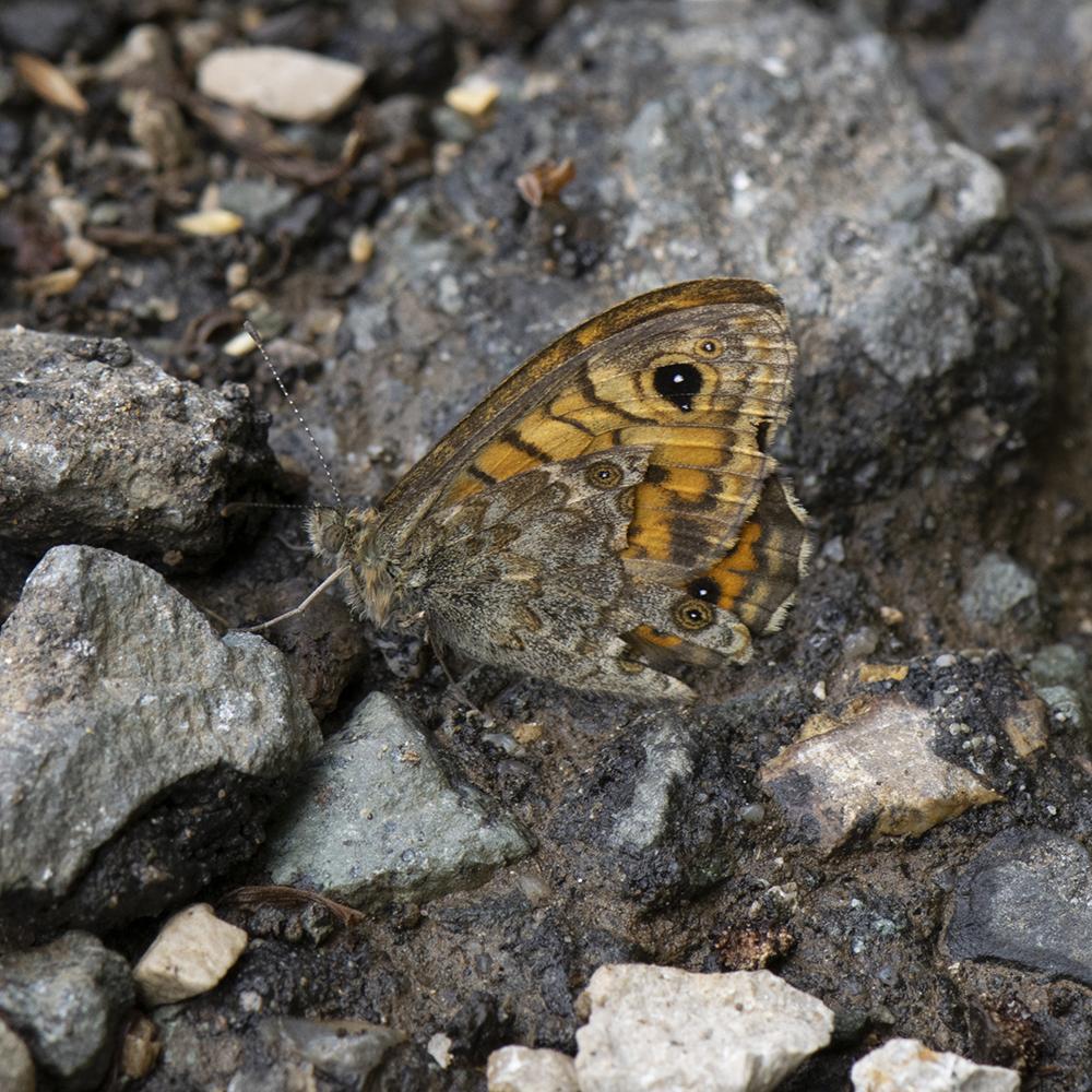 Mauerfuchs (Lasiommata megera) auf Stein